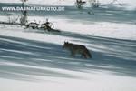 Coyote_small
