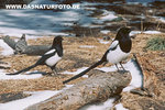 Black-billed-magpie_small