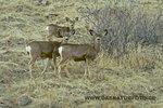 Mule Deer_small