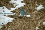 Mountain Bluebird_small