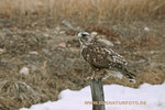 Rough-legged Hawk_small