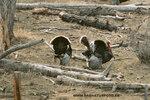 Wild Turkey_small